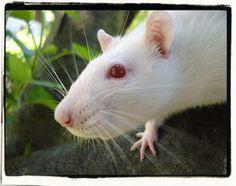Ivy girl. <3    http://www.tunaynamahal.com/p/my-pet-rats.html