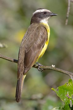 The Rusty-margined Flycatcher (Myiozetetes cayanensis) is a species of bird in the Tyrannidae family, the tyrant flycatchers. It is found in northern and central South America in Bolivia, Brazil, Colombia, Ecuador, French Guiana, Guyana, Peru, Suriname, and Venezuela; also eastern Panama. Its natural habitats are subtropical or tropical moist lowland forests and heavily degraded former forest.