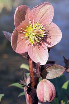 Love me some Hellebores. Helleborus Pink Frost