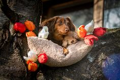 #dog #puppy #spring #flowers #photoideas #photography #animalphotography #dogphotography #dogs #dachshund #annikavallant #photoshooting Spring Flowers, Animal Photography, Dachshund, Puppies, Photo And Video, Dogs, Instagram, Cubs, Nature Photography