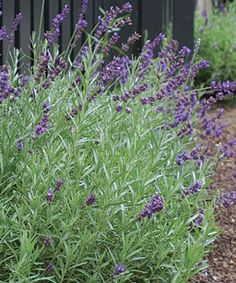 PRUNING SUBSHRUBS  Don't cut plants like lavender to the ground & don't touch the in fall or winter