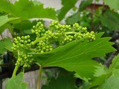 A szőlő futónövény: adottságai arra sarkallják, hogy minél nagyobb területet hódítson meg, s ezután mellékesen gyümölcsöt is termejen. Herbs, Gardening, Lawn And Garden, Herb, Urban Homesteading, Horticulture