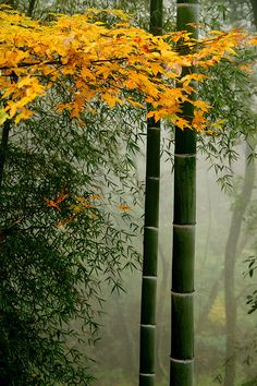 maple against the bamboo