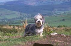 Dandie Dinmont Terrier Puppies For Sale & Puppy Breed Info Terrier Dog Breeds, Terrier Puppies, Puppy Breeds, Terriers, Dandie Dinmont Terrier, Puppies For Sale, Dogs And Puppies, Rare Dog Breeds, Purebred Dogs