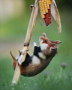 **MANDITORY BYLINE** Pic by Julian Rad/Caters News - (PICTURED: The hamster still grips with his feet as he yet again falls to the ground.) - A hungry little hamster was caught on camera as as he chomped his way through a piece of corn. The images were taken in a cornfield, near a small village in Austria and is a hot spot for wild hamsters. Wildlife photographer, Julian Rad, also from Austria, visited the fields several times over the period of a month, lying on the ground for hours at a…