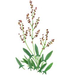 """Sheep sorrel is delightfully bright to taste (though not as acidic as Oxalis) and its beautiful, delicate leaves have a """"tooth"""" that's almost succulent. There's nothing like it on grocery shelves. It's delicious as a salad, in tacos and in omelets. (Illustration: Becca Stadtlander)"""