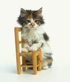 Ragdoll Kitten with Toy Chair : Custom Wall Decals, Wall Decal Art, and Wall Decal Murals | WallMonkeys.com