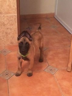 2 month old, Zeus, Belgian malinois. Cute Dogs And Puppies, Doggies, Belgian Malinois Puppies, Belgium Malinois, Cane Corso Puppies, Belgian Shepherd, Working Dogs, New Puppy, Beautiful Dogs
