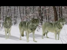 Help save the Wolves in Idaho!!...I just donated....Are these people even human? I don't think they are...