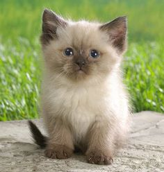 Time for an extremely adorable Ragdoll kitten….