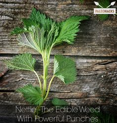 Nettle | Of all the edible 'weeds', nettle is one that is not only easy to identify but is one of the most nutritionally dense and most commonly found around the world.