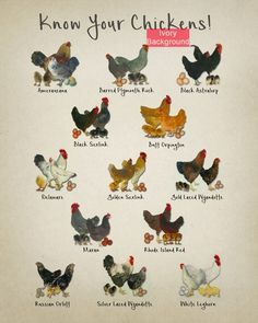 A chart showing various chicken breeds, with a vintage feel…. Please selected … – Chicken Recipes A chart showing various chicken breeds, with a vintage feel…. Chicken Garden, Backyard Chicken Coops, Chickens Backyard, Chicken Coop Decor, Diy Chicken Coop Plans, Building A Chicken Coop, Backyard Farming, Diy Chicken Feeder, Moveable Chicken Coop