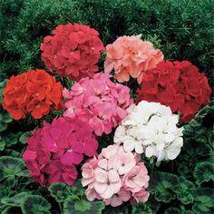 geranium flowers - Bing Images