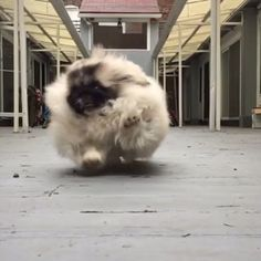 visit the site to see the fantastic video! ~~wontonsoup_the_peke on instagram.. Love this...Have you ever loved something so much it hurt? It's like that but with a plate of macaroni you dropped on the floor. #notjudging #justobserving _____ via @wontonsoup_the_peke | LOVE
