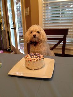 Birthday Boy With His Cake Maltipoo Celebration Thanks To Taj Mahound Gourmet Dog Bakery In Atlanta