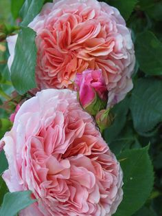 David Austin English Rose 'Abraham Darby'