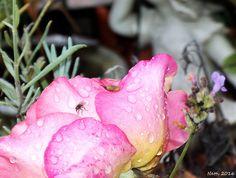 Rosenblüte und Lavendel im regen