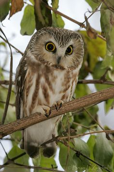 Northern Saw whet Owl Facts – Northern Saw Whet Owl Habitat & Diet Owl Facts, Bird Facts, Beautiful Owl, Animals Beautiful, Owl Habitat, Birds For Kids, Saw Whet Owl, Small Owl, Vintage Owl