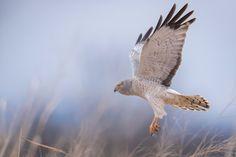 Northern Harrier, by Scott Joshua Dere.