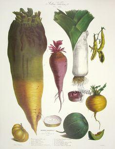 Vilmorin Vegetable Garden - Mangel-Wurzel, dwarf beet, leek, kidney bean, love-apple, pineapple green melon, turnip