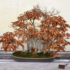Oldest Japanese Bonsai Trees - Bing Obrazy