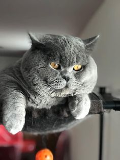 Pretty Cats, Beautiful Cats, Adorable Kittens, Cute Cats, Gray Cats, Whiskers On Kittens, Persian Cats, British Shorthair, Boy Blue
