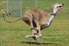 this greyhound is gettin frea -- ky Greyhound Art, Italian Greyhound, Best Dog Breeds, Best Dogs, Greyhound Pictures, Most Beautiful Dogs, Grey Hound Dog, Dog Runs, Mans Best Friend