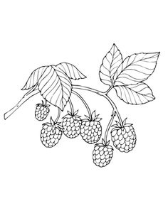 Red Raspberry Coloring Page