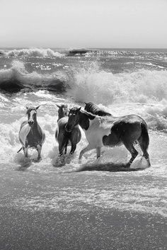 Assateague Horses - childhood memories of my dad taking us on road trips n this was my favorite!, amazed by the beauty and wildness of these untamed horses - so close to the coast of Maryland, yet in a world all their own. All The Pretty Horses, Beautiful Horses, Animals Beautiful, Cute Animals, Wild Animals, Horse Pictures, Animal Pictures, Majestic Horse, Horse Love