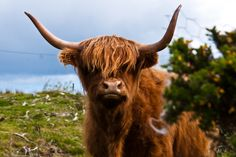 Image result for highland cow head
