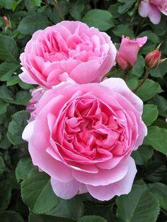 """ Maid Marion "" (AUStobias) - English Rose Collection - Shrub rose - Rose-pink - Clove, fruity, myrrh fragrance - David Austin (UK), 2010"