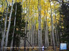 So many golden aspens along the Bear Jaw #hiking trail in #Flagstaff, Arizona.