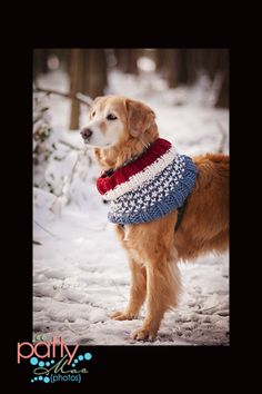 My sweet golden retriever dog in his very special Olympic Victory hand knitted cowl. I made this for him myself. It's a custom knit and keeps him oh so toasty warm and handsome. It's people sized, too!