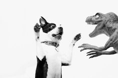 Rawrrrr!! Not my usual phodography pin, but I couldn't resist! #dog #boston_terrier #dinosaur