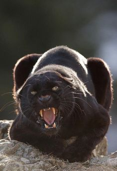 Black panther, or the melanistic form of leopards.