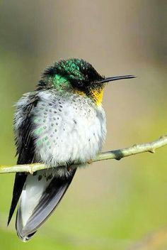 A male Robinson Crusoe firecrown   Join us >>The world of birds