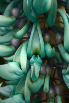 jade vine close up