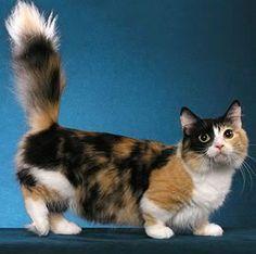 El Munchkin es un pequeño gato de tamaño medio con un moderado tipo de cuerpo. El macho Munchkin normalmente pesa entre 3-4 kg y es generalmente más grande que la hembra Munchkin, que normalmente pesa entre 2-3 kg.