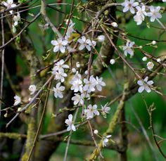 In sheltered sunny corners the blackthorn hedge is starting to bloom early in Normandy