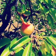 #pear  #summer