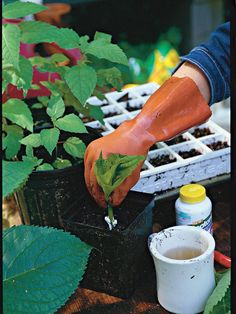 Slide Wendy's Rooting Tips: Tip 3 Smooth Hydrangea, Hydrangea Care, Hydrangea Potted, Hydrangea Landscaping, Yard Landscaping, Pruning Hydrangeas, Flowers Perennials, Plant Cuttings, Propagation