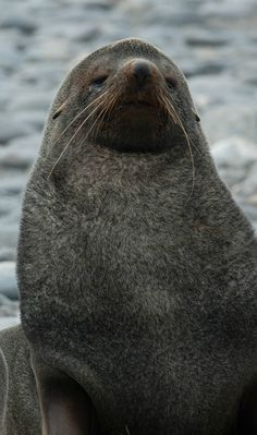 The main attraction for those who travel to South Georgia Island is the diversity of marine life. It has been dubbed as the Antarctic Oasis due to its rich species of seals and penguins. It is believed that the island has one of the richest collection of marine life and the most dense collection of biodiversity.