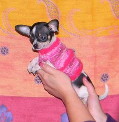 Abby Toutous: pull pour chihuahua ou petit chien Pull, French Bulldog, Dogs, Animals, Smallest Dog, Chihuahua Clothes, Petite Clothes, Doggies, Fig Tree
