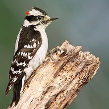 The Downy Woodpecker is mainly black on the upperparts and wings, with a white back, throat and belly and white spotting on the wings. There is a white bar above the eye and one below. They have a black tail with white outer feathers barred with black. Adult males have a red patch on the back of the head whereas juvenile birds display a red cap.
