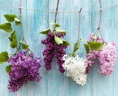 Flieder begeistert mit früher Blütezeit im Mai. ➥ Beim Schneiden, Pflanzen und vermehren von Flieder gibt es allerdings Einiges zu beachten. Praktische Tipps...