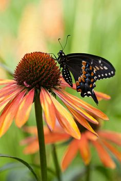 ~Coneflower and a butterfly~
