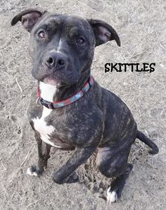 UPDATE-ADOPTED! AVAILABLE NOW! STRAY Tag# 5817 Name is Skittles  Pit Bull Mix  Female-unsure of spay Approx. 1 1/2-2 years old  Approx. 45 lbs.  Wonderful gal!!  Located at 2396 W Genesee Street, Lapeer, Mi. For more information please call 810-667-0236  https://www.facebook.com/267166810020812/photos/ms.c.eJw1zNsNACEMA8GOTsTOs~;~;GOAj5HK3l8BSnJGFqi19cY7XlmTjWrOlWBRHH9Oiuz8rryHHvdfb~;0zFrA3Q0GeA~-.bps.a.768163056587849.1073742108.267166810020812/768163433254478/?type=1&theater
