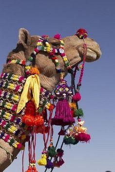 tassels on camels