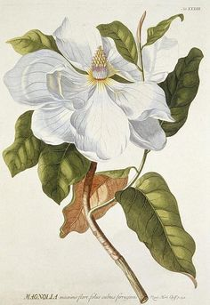 The mid-17th to mid-18th centuries saw the Golden Age of scientific illustration. In this age of curiosity, exploration, and experiment, the artist complimented the scientific process. Georg Dionysius Ehret (1708-1770) was one of the most talented artists of this era. This image shows a Magnolia from Ehret's Plantae Selectae of 1772. Magnolias were a favourite of Ehret and he was said to have taken a daily walk to watch the progress of Magnolia grandiflora