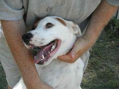 Sweet Irene Retriever & Terrier Mix • Young • Female • Medium Smiling Dog Farms Houston, TX